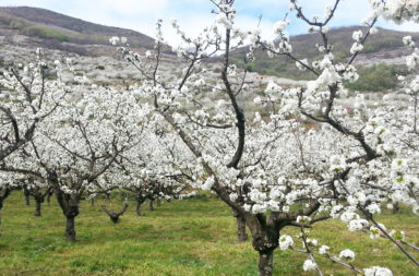 Primavera y Cerezo en Flor 2017. Valle del Jerte