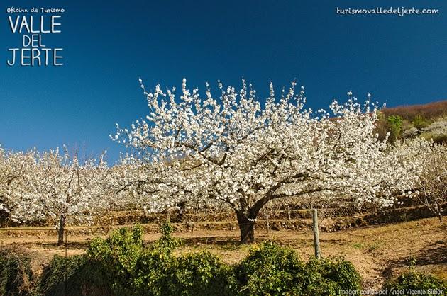 Sigue aquí el estado de la floración en el Valle del Jerte