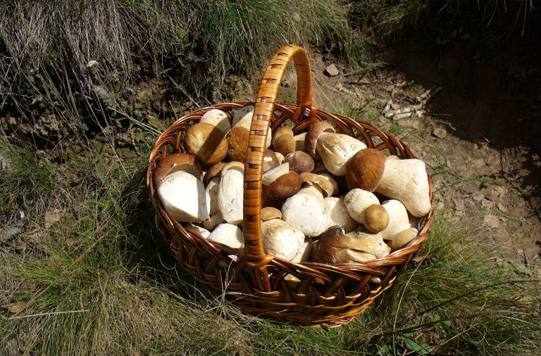 Temporada de setas en Gredos: hábitat, forma y comestibilidad