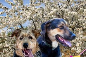 IV Ruta canina en la Primavera y Cerezo en Flor del Valle del Jerte