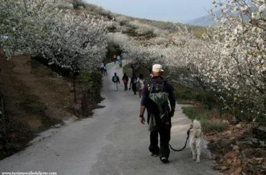 Ruta Cerezo en Flor