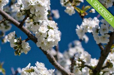 'IX Ruta senderista del Cerezo en Flor' el 8 de abril en Rebollar (Valle del Jerte)