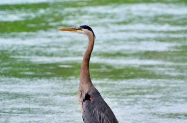 Ver Aves Birding: Aves paseando por el agua en Salvatierra de Tormes